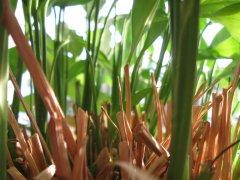 Spathiphyllum / Friedenslilie